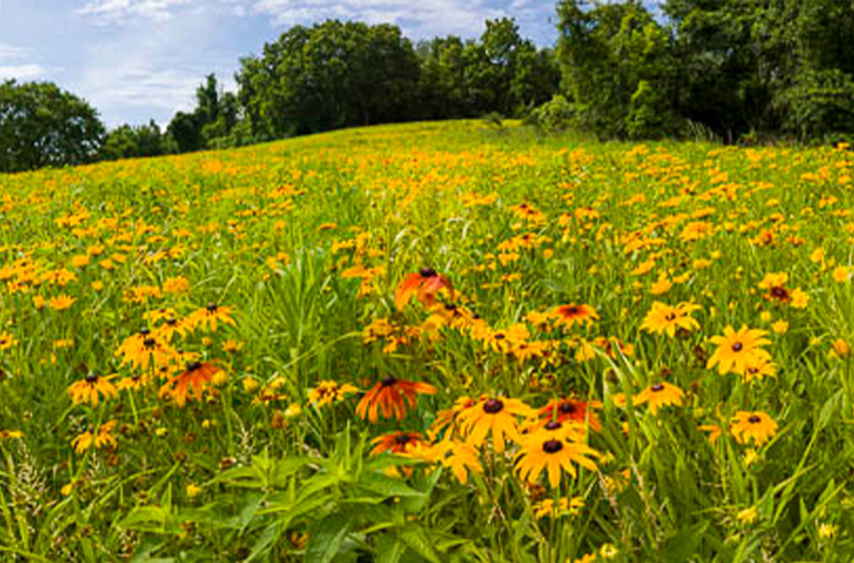 Flowers in bloom at Indian Hill Meadow at Boyce Park