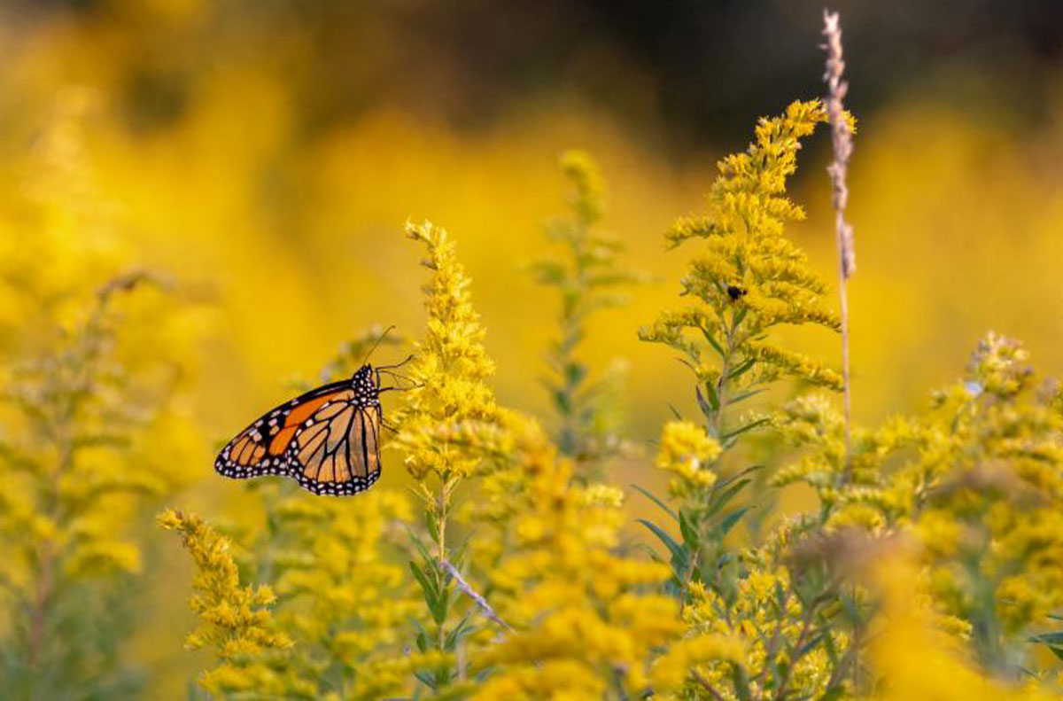A Monarch butterfly rests on Goldenrod in Harrison Hills Park in this early autumn photograph by Dave Brooke who frequents the park.